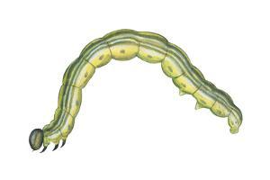 Fall Cankerworm (Alsophila Pometaria), Insects by Encyclopaedia Britannica