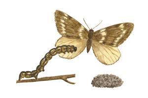 Fall Cankerworm Moth, Caterpillar, and Pupae (Alsophila Pometaria), Insects by Encyclopaedia Britannica