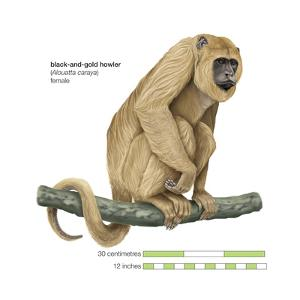 Female Black-And-Gold Howler (Alouatta Caraya), Monkey, Mammals by Encyclopaedia Britannica