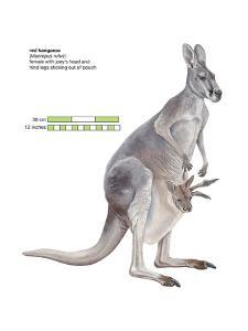 Female Red Kangaroo with Joey (Macropus Rufus), Marsupial, Mammals by Encyclopaedia Britannica