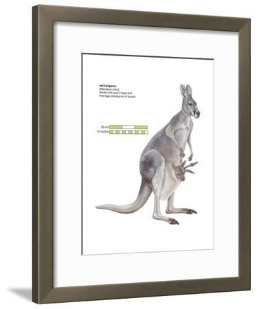 Female Red Kangaroo with Joey (Macropus Rufus), Marsupial, Mammals