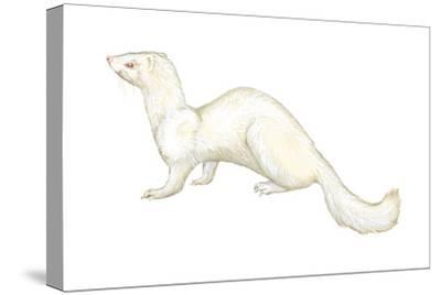 Ferret (Mustela Furo), Mammals