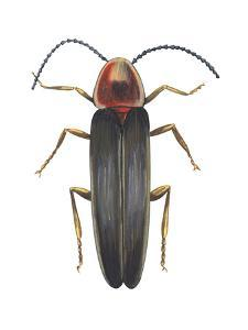 Firefly (Photinus Pyralis), Insects by Encyclopaedia Britannica