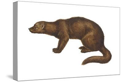 Fisher (Martes Pennanti), Mammals