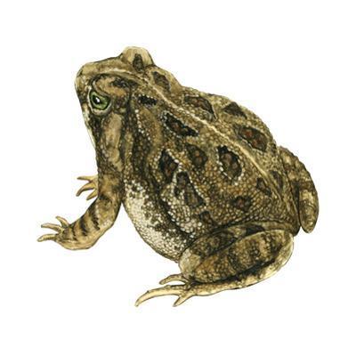 Fowler's Toad (Bufo Fowleri), Amphibians by Encyclopaedia Britannica