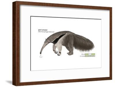 Giant Anteater (Myrmecophaga Tridactyla), Mammals