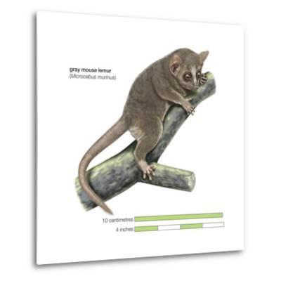 Gray Mouse Lemur (Microcebus Murinus), Mammals