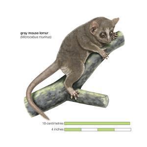 Gray Mouse Lemur (Microcebus Murinus), Mammals by Encyclopaedia Britannica