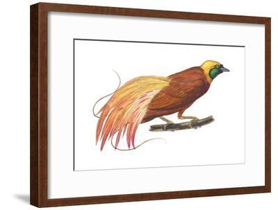 Greater Bird-Of-Paradise (Paradisaea Apoda), Birds