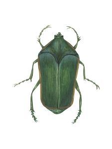 Green June Beetle (Cotinus Nitida), Insects by Encyclopaedia Britannica
