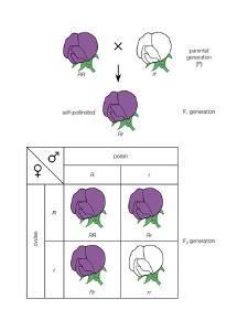 Gregor Mendel's Law of Segregation. Heredity, Genetics by Encyclopaedia Britannica