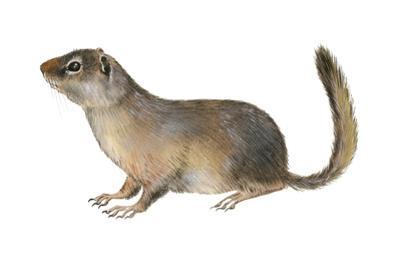 Ground Squirrel (Sciuridae), Mammals