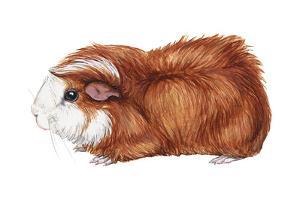 Guinea Pig (Cavia Cobaya), Mammals by Encyclopaedia Britannica