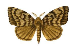 Gypsy Moth (Porthetria Dispar), Insects by Encyclopaedia Britannica