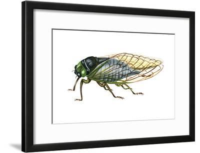 Harvest Fly (Tibicen Linnei), Insects