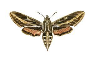 Hawk Moth (Celerio Lineata), Sphinx Moth, Insects by Encyclopaedia Britannica