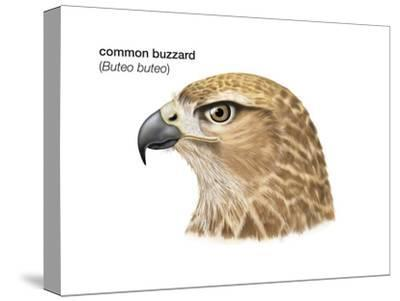 Head of Common Buzzard (Buteo Buteo), Birds