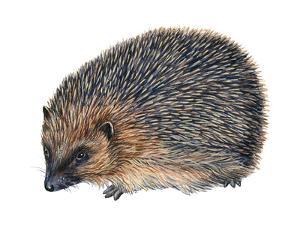 Hedgehog (Erinaceus Europaeus), Mammals by Encyclopaedia Britannica