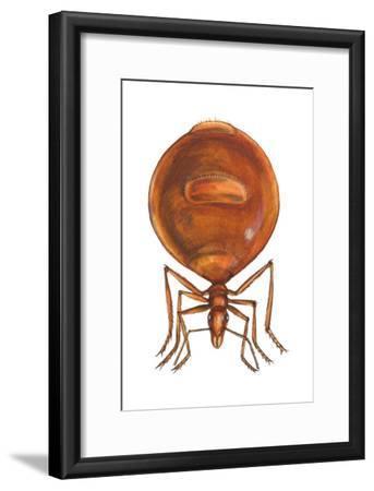 Honey Ant (Myrmecocystus Hortideorum), Insects