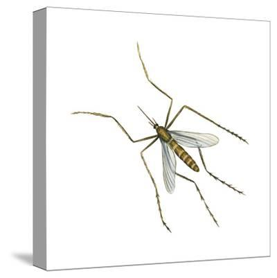 House Mosquito (Culex Pipiens), Insects