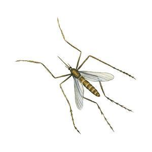 House Mosquito (Culex Pipiens), Insects by Encyclopaedia Britannica