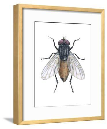 Housefly (Musca Domestica), Insects