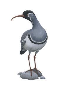 Ibisbill (Ibidorhyncha Struthersii), Birds by Encyclopaedia Britannica