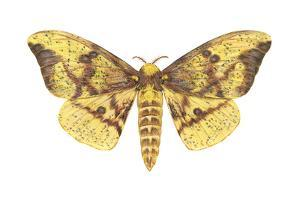 Imperial Moth (Eacles Imperialis), Insects by Encyclopaedia Britannica