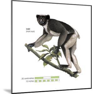 Indri (Indri Indri), Lemur, Mammals by Encyclopaedia Britannica