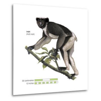 Indri (Indri Indri), Lemur, Mammals