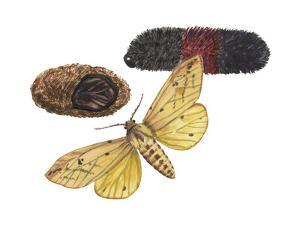 Isabella Tiger Moth, Caterpillar and Pupae (Pyrrharctia Isabella), Insects by Encyclopaedia Britannica