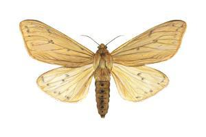 Isabella Tiger Moth (Isia Isabella), Insects by Encyclopaedia Britannica