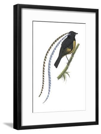 King of Saxony's Bird-Of-Paradise (Pteridophora Alberti), Birds