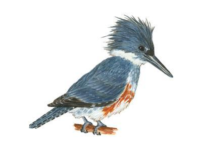 Kingfisher (Megaceryle Alcyon), Birds
