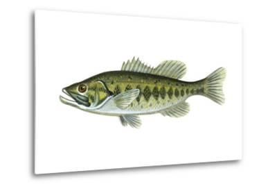 Largemouth Black Bass (Micropterus Salmoides), Fishes