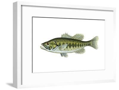 Largemouth Black Bass (Micropterus Salmoides), Fishes