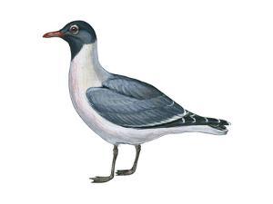Laughing Gull (Larus Atricilla), Birds by Encyclopaedia Britannica