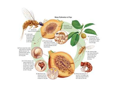 Life Cycle of the Fig Wasp (Agaonidae). Insects, Biology