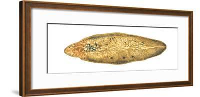 Liver Fluke (Fasciola Hepatica), Platyhelminths, Invertebrates