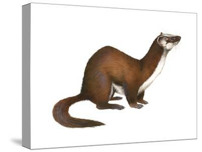 Long-Tailed Weasel (Mustela Frenata), Mammals