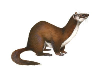 Long-Tailed Weasel (Mustela Frenata), Mammals by Encyclopaedia Britannica