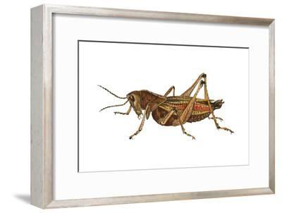 Lubber Grasshopper (Dictyophorus Reticulatus), Insects