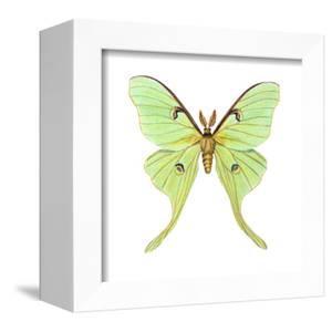 Luna Moth (Actias Luna), Insects by Encyclopaedia Britannica