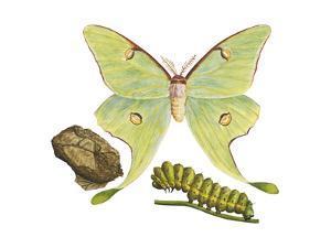 Luna Moth, Caterpillar, and Pupae (Actias Luna), Insects by Encyclopaedia Britannica