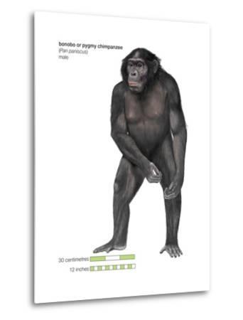 Male Bonobo or Pygmy Chimpanzee (Pan Paniscus), Ape, Mammals