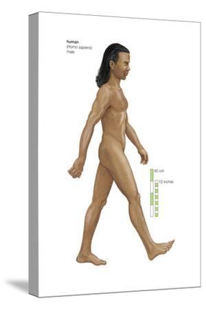 Male Human Being (Homo Sapiens), Ape, Mammals