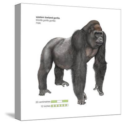 Male Western Lowland Gorilla (Gorilla Gorilla Gorilla), Ape, Mammals