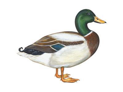 Mallard (Anas Platyrhynchos), Duck, Birds by Encyclopaedia Britannica