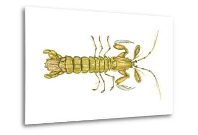 Mantis Shrimp (Squilla Empusa), Crustaceans