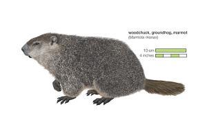 Marmot (Marmota Monax), Groundhog, Woodchuck, Mammals by Encyclopaedia Britannica